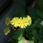 Oriental false hawksbeard/ オニタビラコ