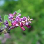 チョウセンキハギ 花の姿