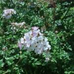 ノイバラの近縁 アズマイバラ 花の咲いている様子