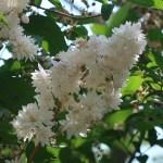 ウツギ(サラサウツギ)花の咲いている様子