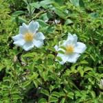 テリハノイバラ 花の咲いている様子