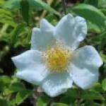 Memorial rose/ テリハノイバラ