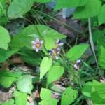 ニワゼキショウ 花の咲いている様子