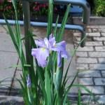 ハナショウブ 花の姿 品種:波乗舟