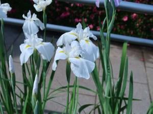 ハナショウブ 花の姿 品種:静波