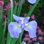 ハナショウブ 花の姿 品種:長良川