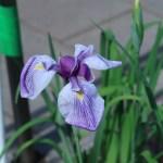 ハナショウブ 花の姿 品種:晴間の響