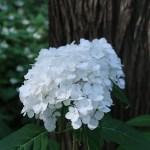 アジサイ 品種 紅手まり(若い花)