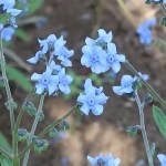 Anchusa leptophylla / アンチューサ