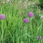 アリウムギガンテウム 花の咲いている様子