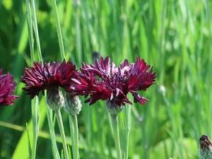 ヤグルマギク チョコレート色 花の姿