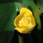 コウホネ 花の姿 アップ