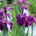 ハナショウブ 赤紫色の花 火の鳥