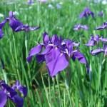 ハナショウブ シンプルな原種に近い花