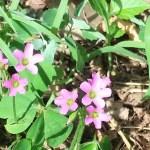 Large-flowered pink-sorrel/ ムラサキカタバミ