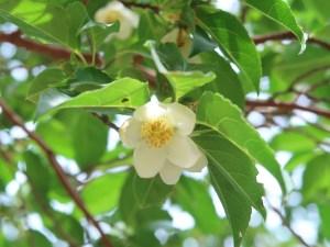 ヒメシャラ 花の様子