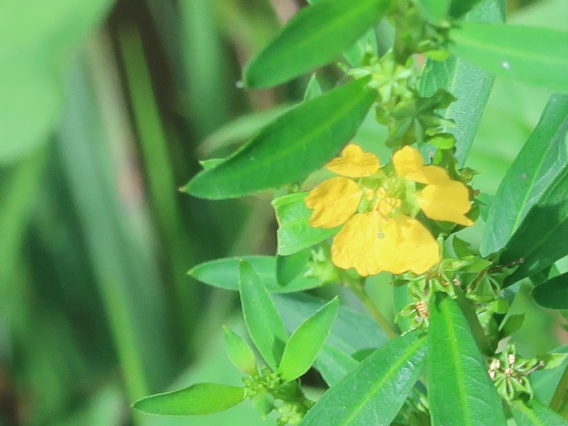 Heimia myrtifolia/ キバナミソハギ