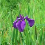 ハナショウブ 花の姿 江戸紫