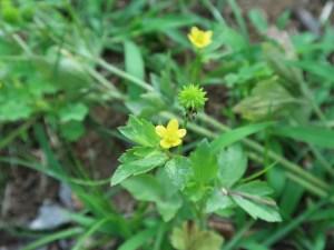 ケキツネノボタン 花の咲いている様子