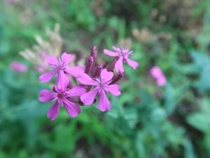 ムシトリナデシコ 花の姿 アップ