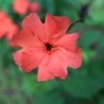 マツモトセンノウ 花の姿