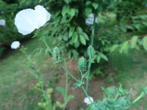 シロアザミゲシ 花と 棘のある実