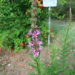エゾミソハギ 花の様子