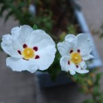 シスタス 花の姿