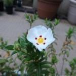 シスタス 花の咲いている様子