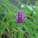 Common hedgenettle/ カッコウチョロギ