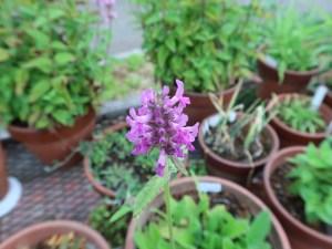 カッコウチョロギ 花の姿