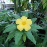 Yellow alder/ ターネラ・ウルミフォリア