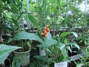 ヘディキウム・ホースフィエルディ 植物の様子、オレンジと赤色が実、右が白い花のつぼみ