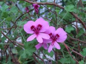 テンジクアオイ シナモンゼラニウム 花の様子
