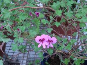 テンジクアオイ シナモンゼラニウム 花の咲いている様子