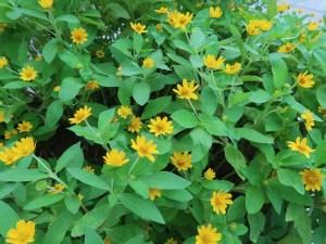 ヒャクニチソウ 花の咲いている様子