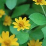 ヒャクニチソウ 花の様子