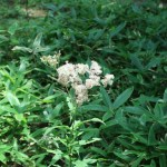 フジバカマ 花の咲いている様子