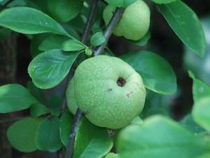 ボケ 若い果実