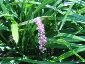 ヤブラン 花の咲いている様子