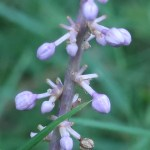 ヤブラン 花の姿 つぼみ