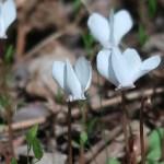 シクラメン 原種の花の姿