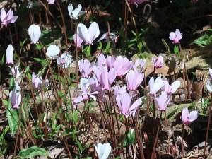 シクラメン 原種の咲いている様子