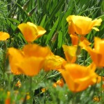 ハナビシソウ 花の咲いている様子
