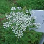 トウキ 花の様子 未だ若い花