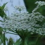 トウキ 花の様子 未だ若い花の側面