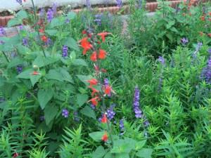 サルビア・コクシネア 花の姿(赤い花)