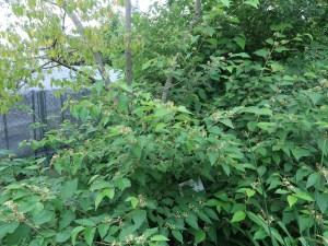 ウオトリギ 花の咲いている木の様子
