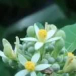 Bilobed Grewia/ ウオトリギ