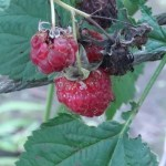 Raspberry/ ラズベリー